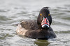 Tufted Duck (Paul A Wiles) Tags: tufted duck male bill plate watermead country park