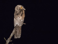 20171204 Nayarit Mexico IMG_6079 (ianburgess1) Tags: birds elconchallatobara familynyctibiidae mexico nayarit northernpotoo nyctibiusjamaicensis