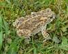 Natterjack Toad Epidalea calamita 21.5.17 (3) (wildlifelover69) Tags: natterjacktoad epidaleacalamita amphibians
