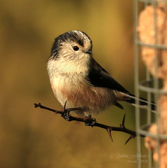 So Sweet! (~ **Barbara ** ~) Tags: wildbirds ltt longtailedtit bird wild summerleys stormeleanor stormy windy gales drizzle showers sunny local northamptonshire uk canon7dii 100400lmk2