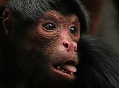 redfaced spidermonkey artis BB2A6580 (j.a.kok) Tags: slingeraap roodgezichtslingeraap redfacedspidermonkey spidermonkey monkey aap artis animal zuidamerika southamerica mammal zoogdier dier primaat primate shaana