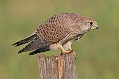 Kestrel  F (drbut) Tags: kestrel falcotinnunculus falcon bird birds nature wildlife canonef500f4lisusm