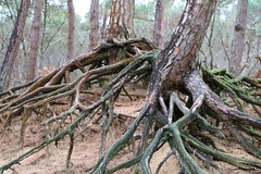 tree roots (sannegrashoff) Tags: tree trees roots root treeroot nature woods boom bomen boomwortel natuur bos bossen forest park wood