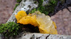 Witches' Butter (Nick:Wood) Tags: fungus nature environment wildlife warwickshirewildlifetrust prioryfields solihull witchesbutter tremellamesenterica yellow jelly moss tree bark