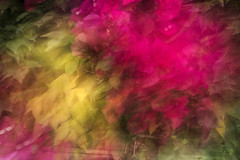 Bougainvillea (jgokoepke) Tags: bougainvillea motionblur berkeley california usa flowers red yellow green