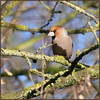 Hawfinch (image 2 of 2) (Full Moon Images) Tags: wimpole hall nt national trust cambridgeshire bird hawfinch
