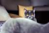Afurisita (Afu') - British Shorthair (WhiteShipDesign) Tags: purebred feline grey cat domestic pet animal shorthair hair resting gray adorable pedigree funny cute expression britishshorthair bluegray furry eyes face fur white young portrait looking