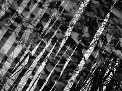 deliberate confusion (vertblu) Tags: mirroring mirrored reflection reflections reflectedtrees reflectedskies lookingthrough ditch water watersurface waterabstract mono bw abstract abstrakt abstraction abstractnature abstracted abstractreflections natureabstracted nature vertblu blackwhite diagonal layered layers naturalpatterning patterning pattern shadow shadows hazelbushes