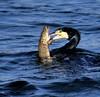 Pike v Cormorant (tjb7735) Tags: cormorantfeedingfish pike riverlea riverlee leevalley fishersgreen nikond750sigma150600 lake winter wildfowlbirdwildlife