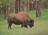 bear country usa rapid city south dakota (65mb) Tags: 65mb south dakota bison southdakota bearcountryusa rapidcitysouthdakota mammals canon