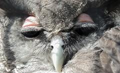 Glamour (Kevin Pendragon) Tags: owl bird flight eyes pink black beak brown grey feathers nature cornwall