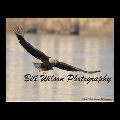 bald eagle (wildlifephotonj) Tags: baldeagle baldeagles eagle eagles raptor raptors wildlifephotography wildlife nature naturephotography wildlifephotos naturephotos natureprints birds bird