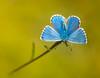 Memories of Summer.Adonis Blue (polyommatus bellargus) (trevorwilson1607) Tags: adonisblue polyommatusbellargus butterfly freshlyemerged stunningblue iridescent halcyondays horribleoutside yuk coldwetsleet macro