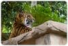 Young Sumatran Tiger (Panthera tigris sumatrae) (Craig Jewell Photography) Tags: pantheratigrissumatrae australia australiazoo beerwah queensland steveirwin sumatrantiger zoo f40 100300mm ¹⁄₂₅₀sec canoneos1dmarkiv iso500 100 20171228123636x0k0311cr2 noflash ‒²⁄₃ev