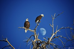 Up And Down (CTfotomagik) Tags: bald eagle colorado northern windsor nature raptor bird prey nikon cottonwood wildlife moon tree sky perched larimer county