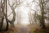 Winter fog (tommerchant1) Tags: fog weather oak wood woodland nature eerie cannockchase cannock staffordshire wildlife ukweather winter winterwatch bbcspringwatch outdoors nikon