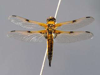 Filigree wings No. 2 - Filigrane Flügel Nr. 2 (Uli)