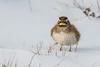Horned Lark (jim sonia) Tags: birds massachusetts places salisbury usa bird hornedlark