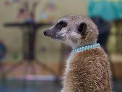 Meerkat (ifaw_yc) Tags: 미어켓 카페 홍대 서울 한국 meerkat animal wildanimal southkorea korea hongdae cafe meerkatcafe