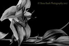 Profile of Lilly (Beau Rush) Tags: copyright2017 beaurushphotography tones silver highcontrast petals petal profile soft nature still stilllife blackandwhite flowers flower lillies lilly
