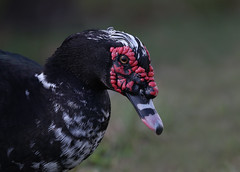 Mucovy Duck (ashockenberry) Tags: muscovy duck waterfowl nature wildlife naturephotography florida