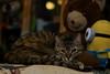 Lucy Loves her Teddy Bear (Light Echoes) Tags: sony a6000 2018 winter february cat chat kot gatto feline pet katze kat kalo котка gato gate gat animal 고양이 γάτα kočka 貓 القط kass kissa חתול बिल्ली miv macska kucing 猫 vighro kaķis katė qattus katten گربه pisica кошка mačka katt แมว kedi кішка بلی mèo cath rescue shorthairdomestic tabby lucy lucindamtoffeenose slrmagic50mmf111cine