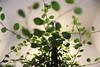 Entanglement (GabyF88) Tags: macro green verde plant planta light backlight entangled entanglement