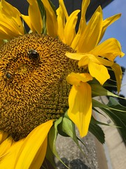2017-07-07 001 (fozbaca) Tags: uk bee flower universityofkentucky