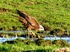 Having a drink 7.1 (ericy202) Tags: marshharrier norfolk drinking freshwater meadow