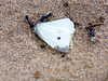 Jumping jack ants attacking a dead butterfly on the beach (ajft) Tags: ant aus australia butterfly geo:lat=3853638889 geo:lon=14397750000 geo:zip=3232 geotagged insect jumpingjack lorne victoria