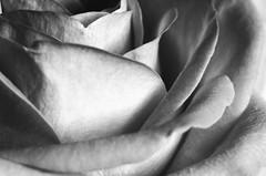 Macro on a Monday, pink rose! 🌹🌹 (LeanneHall3 :-)) Tags: blackandwhite rose rosepetal petals closeup closeupphotography macro macrotubes macroextensiontubes flower flowersarefabulous flowerarebeautiful flowerflowerflower canon 1300d
