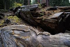 Giants (Kari Siren) Tags: redwood tree sequoia national park usa california