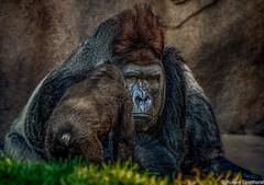 Mom said go ask Dad (Robert Streithorst) Tags: cincinnatizoo dad daughter gorilla robertstreithorst silverback zoosofnorthamerica younggoriilla