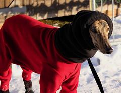 On a marché sur la neige (bd168) Tags: chien dog costume hiver winter protection greyhound lévrier snow neige sidewalk trottoir capuchon hood fujifilmxt10 xf50mmf2rwr sunny ensoleillé