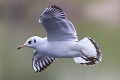 Couleurs pastelles - Pastel colors (bboozoo) Tags: nature animal wildlife mouette seagull bokeh profondeurdechamp canon6d tamron150600 bif
