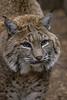 Bobcat (Jon David Nelson) Tags: bobcat lynxrufus wildlife education conservation centraloregon highdesert