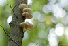 Buchen-Schleimrübling (Oudemansiella mucida) (waellerwildlife) Tags: buchenschleimrübling oudemansiellamucida beringterschleimrübling porcelainfungus mucidulevisqueuse porseleinzwam monetkabukowa posliinisieni porslinsskivling удемансиелласлизистая slizečkaporcelánová pilz baumpilz rotbuche fagussylvatica laubbaum fagus buche almindeligbøg europeanbeech commonbeech hayacomún hêtrecommun euroopanpyökki faggio beuk faiaeuropeia bok flora baum bäume westerwald buchen buchenwald fotografie germany naturfotografie nature malberg naturschutzgebietmalberg ötzingen montabaur wald herbst oktober
