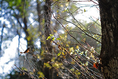 telas (Alvaro_L) Tags: telaorbicular spidersilk seda contraluz orbweaver spider araña teladearaña tela web