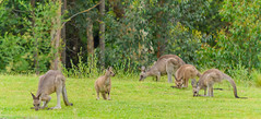 Kangaroos in the wild (Merrillie) Tags: nsw batemansbay kangaroo longbeach furry southcoast australia marsupial animals fauna wildlife newsouthwales animal
