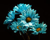 Blue Daisy Group 1224 (Tjerger) Tags: nature beautiful beauty black blackbackground bloom blooming blooms blue bunch closeup daisies daisy flora floral flower flowers green group macro plant portrait winter wisconsin yellow natural