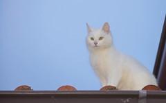 Katty (03) (Vlado Ferenčić) Tags: animals animalplanet vladoferencic catsdogs cats vladimirferencic nikond600 roof kitty kittens nikkor8020028 zagorje hrvatska croatia