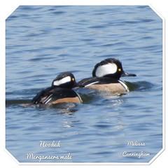 Hooded Mergansers (AlwaysLoveBirds) Tags: 162018 oklahoma city ok