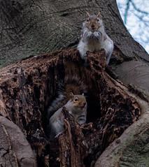 2017-12-02-0104 (Kevin Maschke) Tags: london fuji fujifilm fujifilmxt2 fujixt2 fujix city londoncity londonstreets nature outdoors air freshair squirell animal wildlife