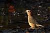 Parrot Crossbill Santon Warren Norfolk 1 (JohnMannPhoto) Tags: parrot crossbill santon warren norfolk drinking puddle