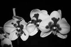 orchids in monochrome