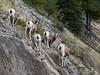 Bighorn Sheep (Whidbey LVR) Tags: lyle rains lylerains olympus em5ii canada alberta jasper nationalpark national park bighorn sheep ewe