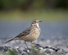 American Pipet (Becky Matsubara) Tags: americanpipit bird birds california contracostacounty elcerrito
