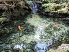 Oh to be a Fish (AndyLineberger) Tags: water rock river stream creek pond tree plant nature outdoors moss landscape outdoor flora bodyofwater watercourse vine grass wood waterresources bird environment naturereserve orange waterfeature goldfish goldfishpond