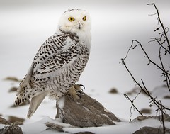 That was an amazing pedicure! (Dr. Farnsworth) Tags: snowy owl snowyowl bird large snow pond talons sharp ducks muskegon mi michigan fall december2017 fantasticnature nationalgeographic worldwide goldenlion animalsbirds