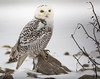 That was an amazing pedicure! (Dr. Farnsworth) Tags: snowy owl snowyowl bird large snow pond talons sharp ducks muskegon mi michigan fall december2017 fantasticnature nationalgeographic worldwide goldenlion animalsbirds